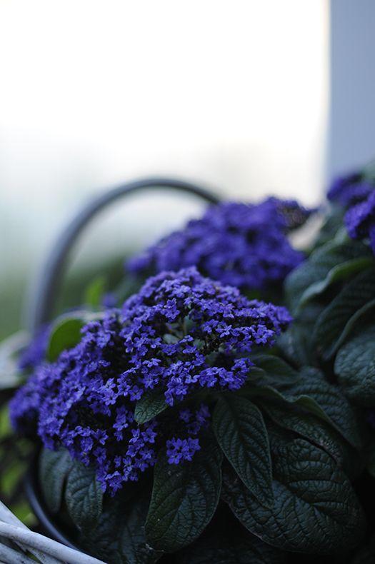 Den violdoftande Heliotropen är en återkommande favorit i mina korgar. I år har den varit finare en någonsin. Den älskar sol och värme och drar till sig bin och humlor.