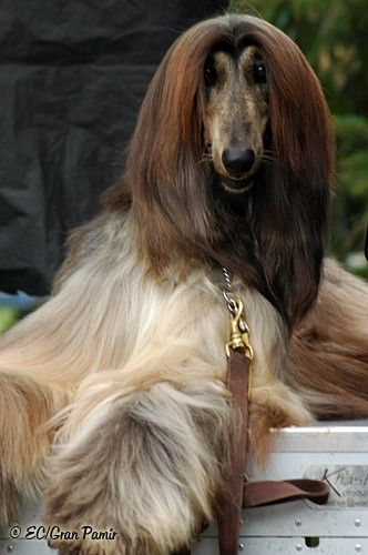 afghan hound Brought to you by Cookies In Bloom and Hannah's Caramel Apples   www.cookiesinbloom.com   www.hannahscaramelapples.com
