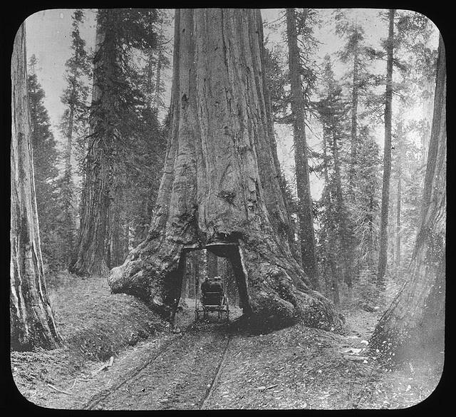 Big tree, Redwood Forest, California (Manning Lantern Slide: 657)