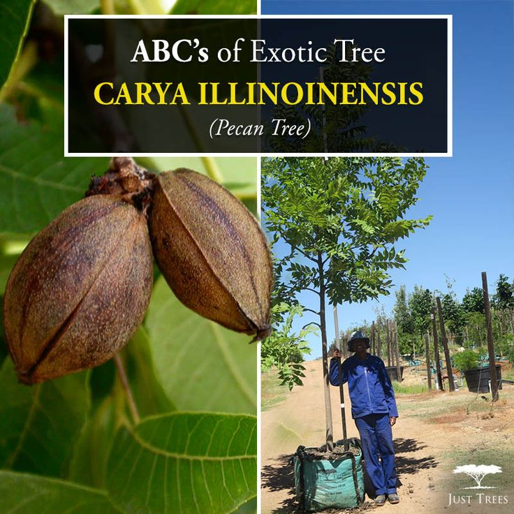 The Carya illinoinensis is actually a species of hickory, native to Mexico and southcentral, southeastern regions of the United States. The large deciduous tree can reach up to 10m. Often low-branched, this tree grows best in sun with well-drained, moist soil.