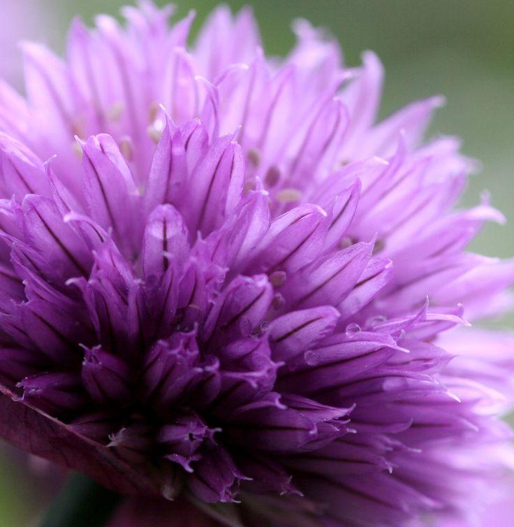 Schnittlauch fürs Kräuterbeet: Wie Ihr diese Pflanze pflegt und wie Schnittlauch am besten schmeckt.