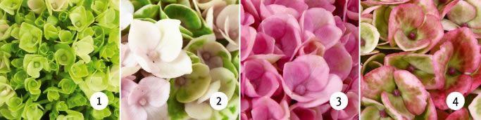 verkleuring roze hortensia