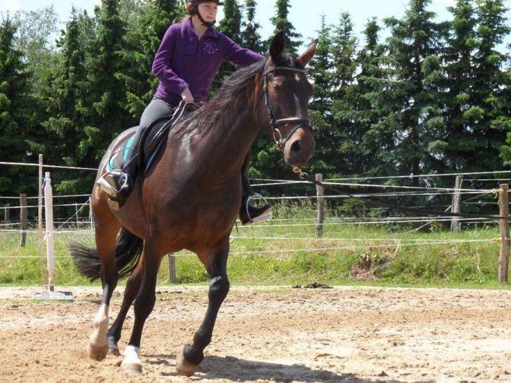 Zur allegemeinen Beachtung: Anfragen von Pferdemetzgern werden nicht toleriert. Pferdehändler die meine Pferd an einen Schlachter verschachern wollen können sich ebenfalls die Mühe sparen. Mein Pferd ist kein Schlachttier. Ich verkaufe schweren Herzens meine liebe Stute Lara. Lara ist dunkelbraun, 159 cm groß und fast 10 jahre jung. Bisher hatte sie ein gesundes Stutfohlen. Gesamtbewertung vom Pferdezuchtverband Sachsen-Thüringen e. V. 7,4. Lara ist ein sächsichses Warmblut, registriert im…