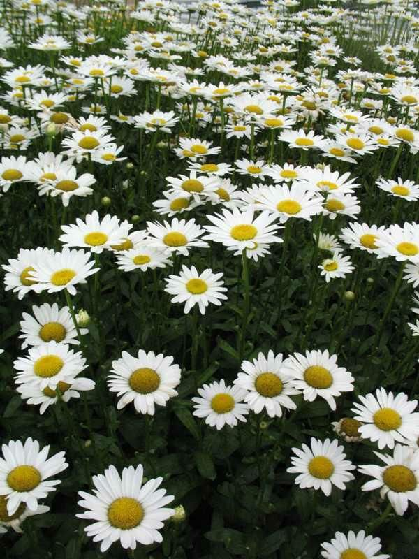 how to take care of shasta daisies