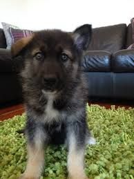 Image result for alaskan shepherd