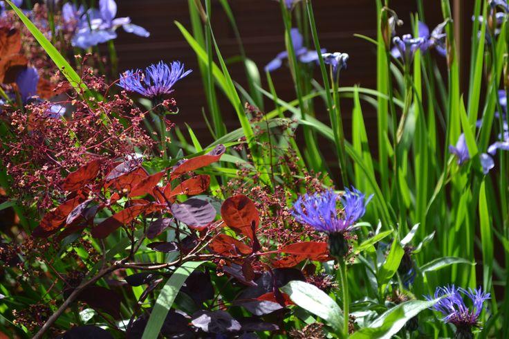 Centarea Montana, Iris sp., Cotinus coggygria