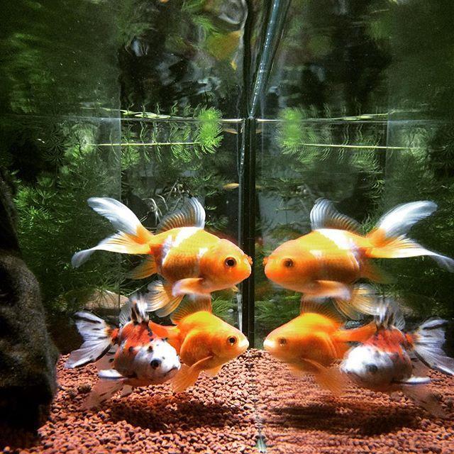 【indoorfish】さんのInstagramをピンしています。 《本年最後の水換え終了🐟 #金魚 #アクアリウム #goldfish #aquarium #》
