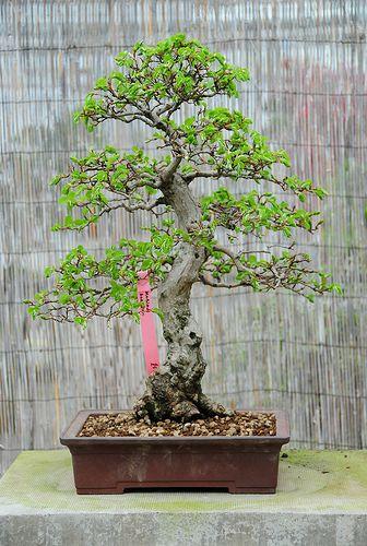 Korean Hornbeam Bonsai Tree Carpinus Turczaninowii In A Flickr