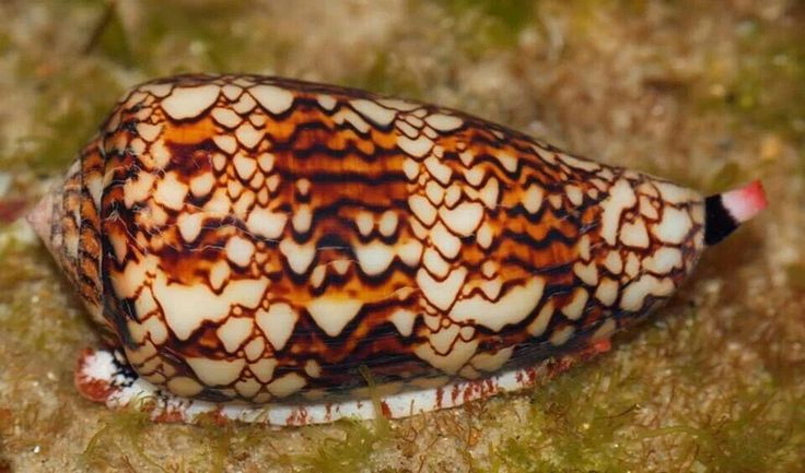 Conus the Snail that kills