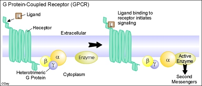 G PROTEIN COUPLED RECEPTORS | Teaching - Biology | Pinterest | Protein