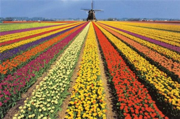 The Tulips in Holland