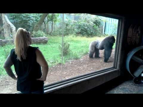 55 best omaha zoo gorillas images on pinterest that is not normal tendency the zoos make bachelor silverback team here is az example to it silverback gorillas fighting over attention at omaha zoo publicscrutiny Image collections