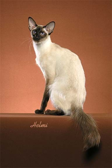 17 Best Images About Balinese Cats Like Our Honey On