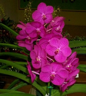 Vanda Prchids | Learn - Orchid Growing Care Guide, Orchid Care, dendrobium orchid ...