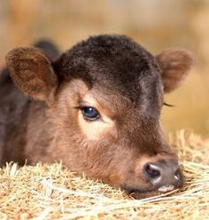 Baby Calf. There's no need to exploit and harm someone for your own pleasure or profit. ALL animals -- human AND nonhuman -- have the inherent rights not to be treated as someone's property or used/exploited for someone else's interests. We rob others of those rights and steal what isn't ours. We harm those who mean us no harm. If you wouldn't want to be treated like that, then don't do it to someone else! www.vegankit.com & www.humanemyth.org & www.peacefulprairie.org/humane-myth01.html