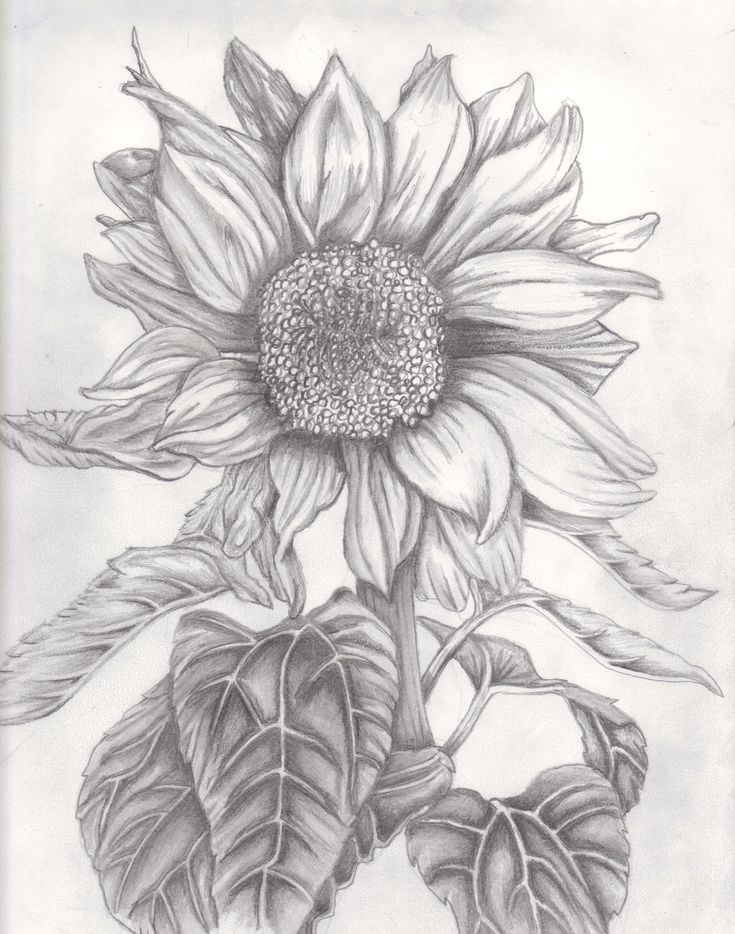 Drawings Of Sunflowers In Pencil 97 best images about S...