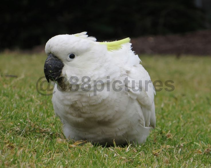 888 Pictures: Rain Flecked Cockatoo Eating Grass  #close #up #Cockatoo #white #bird #rain #flecked #water #drops #grass #green #parrot