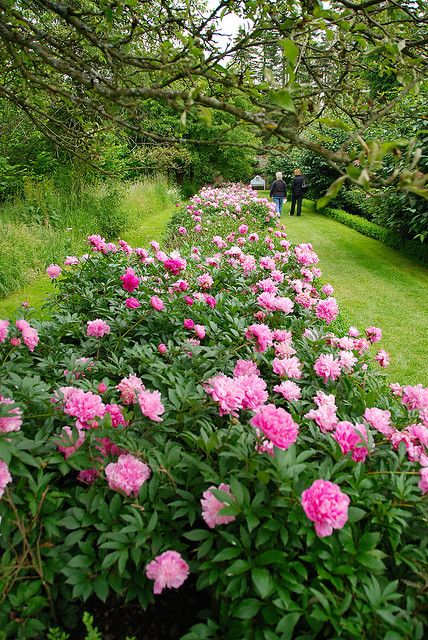 Living in a sub-tropical climate I cannot grow beautiful Peonies. The Peony Border at Penshurst Place