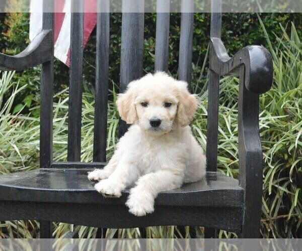 Goldendoodle For Sale Nj Goldendoodle Goldendoodle Puppy