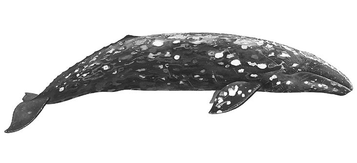 The Marine Mammal Center : Gray Whale