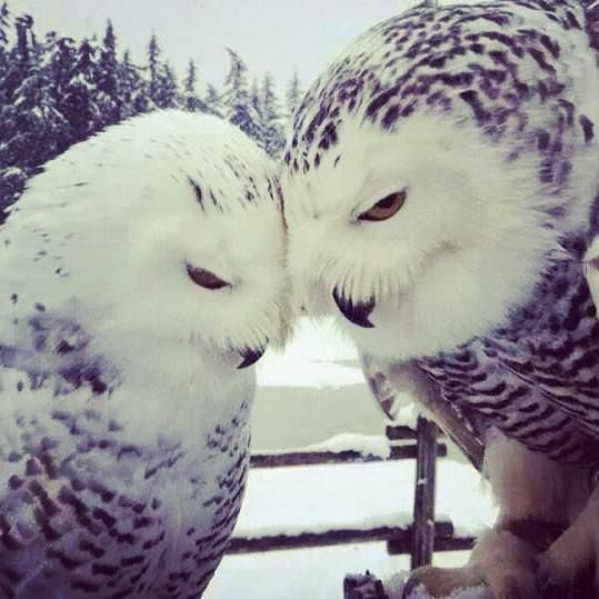 Gorgeous Owl couple