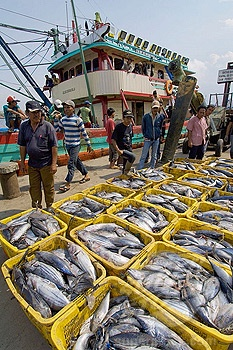 port workers unload fresh cateched fidh from boats. muara angke fish market. jakarta north. indonesia. asia.