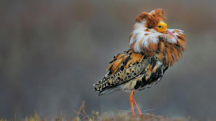 Male Ruff In Breeding Plumage Norway 169 Werner Bollmann