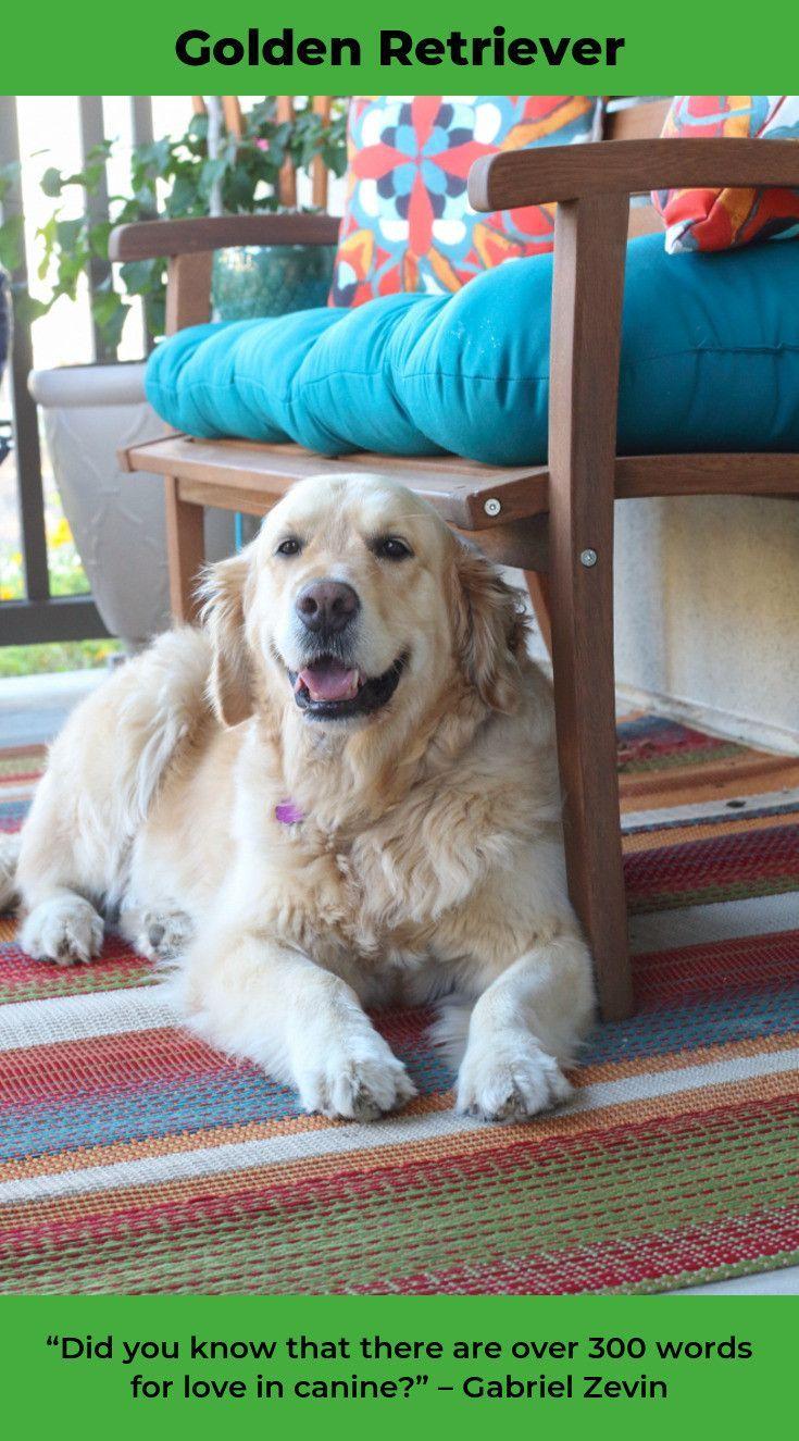 Golden Retriever Puppy Goldenretrieverbrasil Goldenretrieverlife