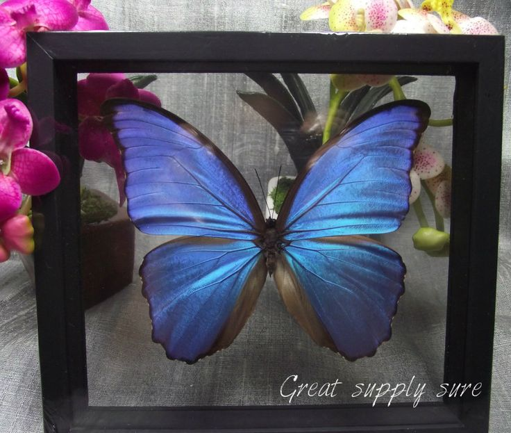 Real Butterfly Mounted in Frame Insect Butterfies Blue Art Decor See Through | eBay