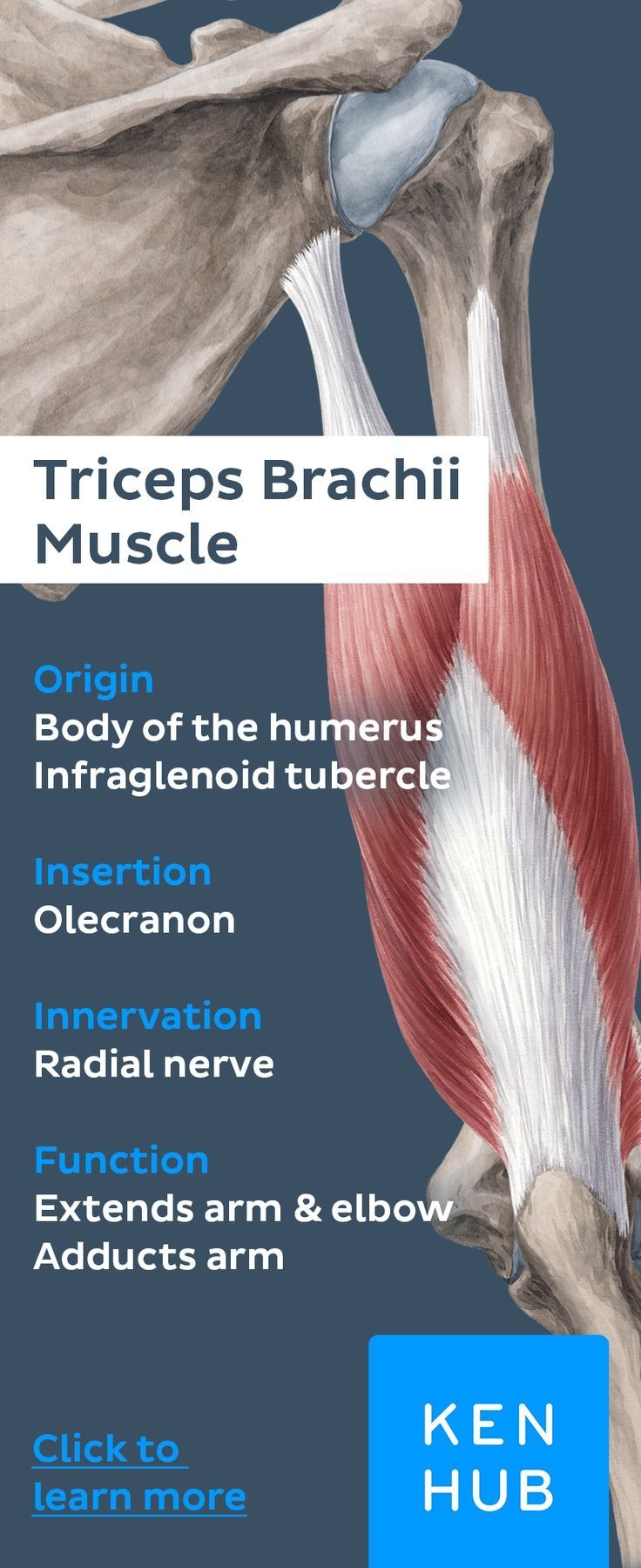 Triceps Brachii Muscle