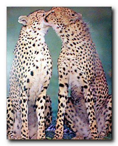Your love for animals can now be seen on the walls of your house with this wonderful wild pair of cheetah wildlife animal art print poster. Your home surely will brighten up with the presence of this cheetah picture art print poster. Your guests will definitely compliment you for your excellent taste. This poster is a graceful addition to any area in your beautiful home and ensures to make a smile on everyone's face at a very first glance. Hurry up and grab this beautiful wall poster for its…