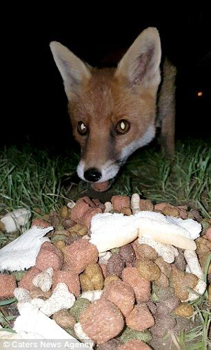 The fox has a sniff around a pile of dog biscuits