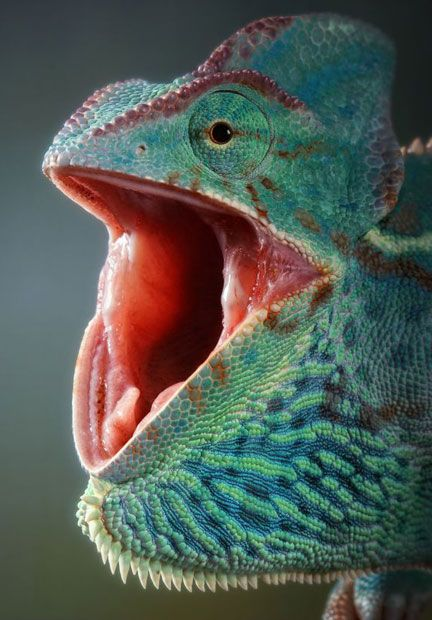 A Chamaeleo Calyptratus (Veiled Chameleon, female) :  photographed by Igor Siwanowicz