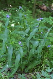 podeňka ohioská - Tradescantia ohiensis