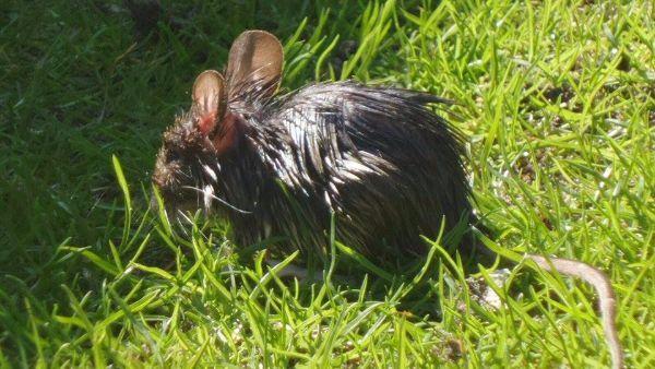 Voorwoord `` Eerste hulp bij rattenoverlast``    Eerste hulp bij rattenoverlast is een reeks artikelen die gaan over ongediertepreventie en bestrijding van ratten zonder giftige bestrijdingsmiddelen. In het bijzonder gaat het in deze reeks over bruine ratten.