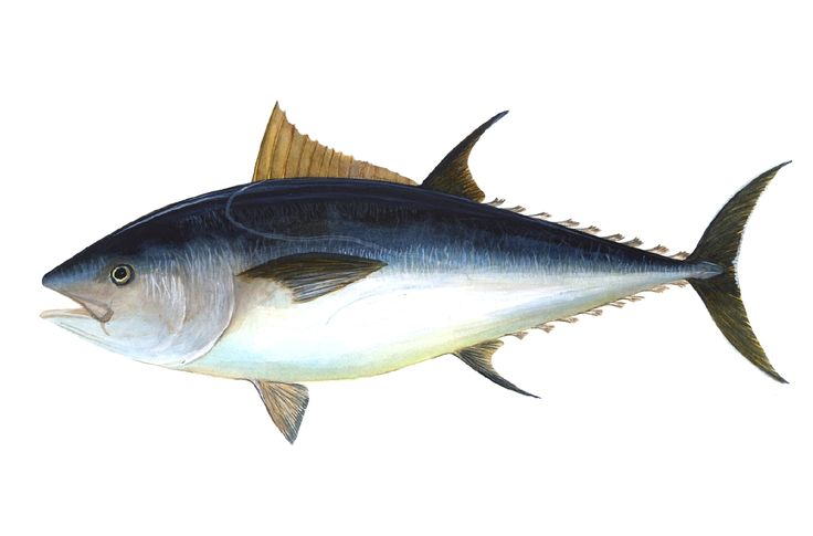 Art illustration - Oceans & Seas - Atlantic Bluefin Tuna: (Thunnus thynnus) Blue or bluefin tuna, also called bluefin tuna, bluefin tuna or bighorn, is one of the tuna species in the family Scombridae. He is well known as Atlantic bluefin tuna, giant bluefin tuna (for individuals exceeding 150 kilograms) and formally as tuna. Bluefin tuna is from both sides of the Atlantic, both western and eastern, and the Mediterranean Sea. It is already extinct in the waters of the Black Sea and the…