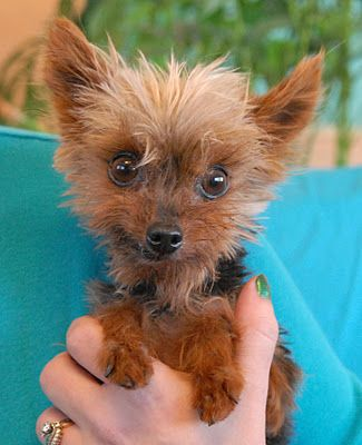 SPCA Dogs for Adoption | Twinkie, a tiny Yorkie for adoption.