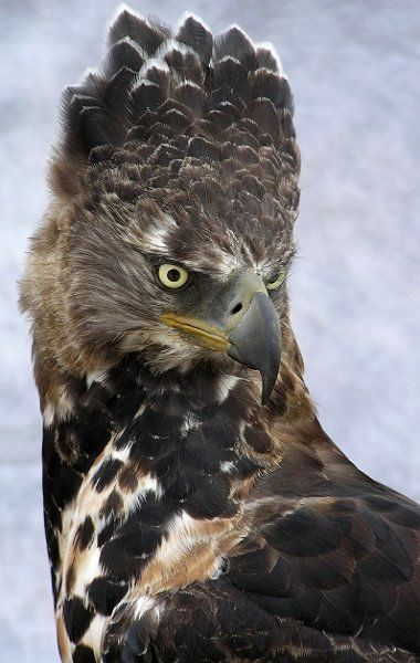 Crowned (Solitary) Eagle; hey there eagle face ....some how seeing YOu grounds me...'cause you belong up there :)!