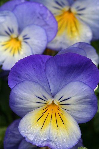 Pansies- favorite wintertime flower!