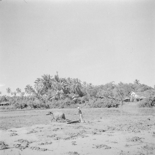 Ploegen van de sawah met een karbouw / Ploughing the sawah with a water buffalo