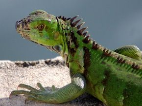 Green iguana. He likes swimming now too!!