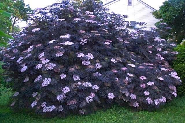 Black Lace Elderberry.  Regular, aggressive pruning will keep this shrub compact and full.  Plant in full sun for best color and fullness.