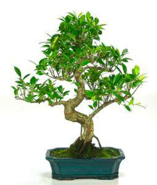 best 25 bonsai ficus ideas on pinterest ficus bonsai tree large bonsai tree and bonsai. Black Bedroom Furniture Sets. Home Design Ideas