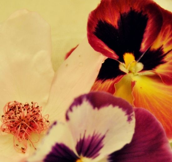 Pansy and wild roses
