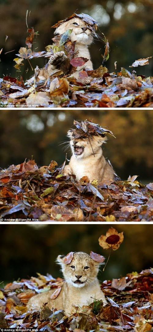 Love the top pic   Lion cub in the leaves