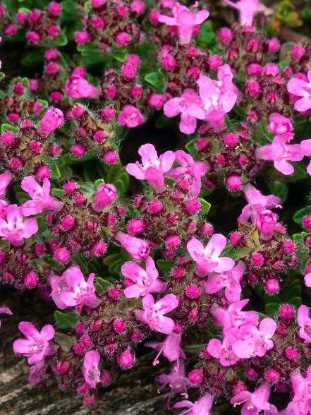 This+thyme+is+a+compact+spreading+sub-shrub+with+low-lying+hairy+stems.+The+aromatic+gray-green+leaves+contrast+with+the+clear+pink+flowers+in+summer.+Plant+the+thyme+in+well-drained+soil+and+remove+any+leaves+that+fall+onto+it+in+fall.  Height:+4+inches  Spread:+14+inches  Hardiness:+Fully+hardy+plants  Soil+Preference:+Well-drained+soil  Sun+or+Shade:+Full+sun