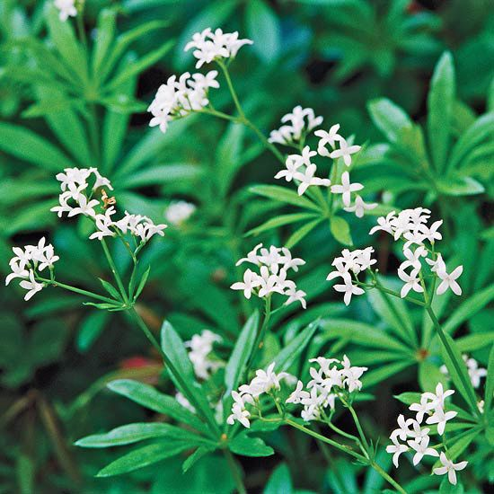 Sweet Woodruff is the perfect groundcover for adding fragrance to your backyard. When the leaves are crushed they smell like freshly mown hay. This is one plant that isn't prone to invasiveness and tends to form well-mannered clumps.Name: Galium odoratumGrowing Conditions: Part to full shade and well-drained soilSize: To 12 inches tallZones: 4-8