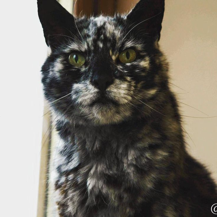 Best Catastic Images On Pinterest Kitty Cats Baby Animals - Meet scrappy 19 year old black cat grew unique marble fur due rare skin condition