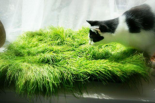 Cama de hierba para gato