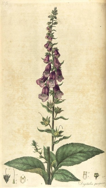 78 images about foxgloves in my garden on pinterest for Botanical tattoo london
